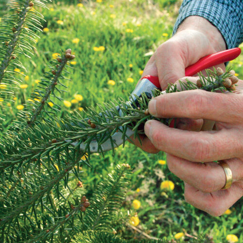 trimming the conifers outermost tips