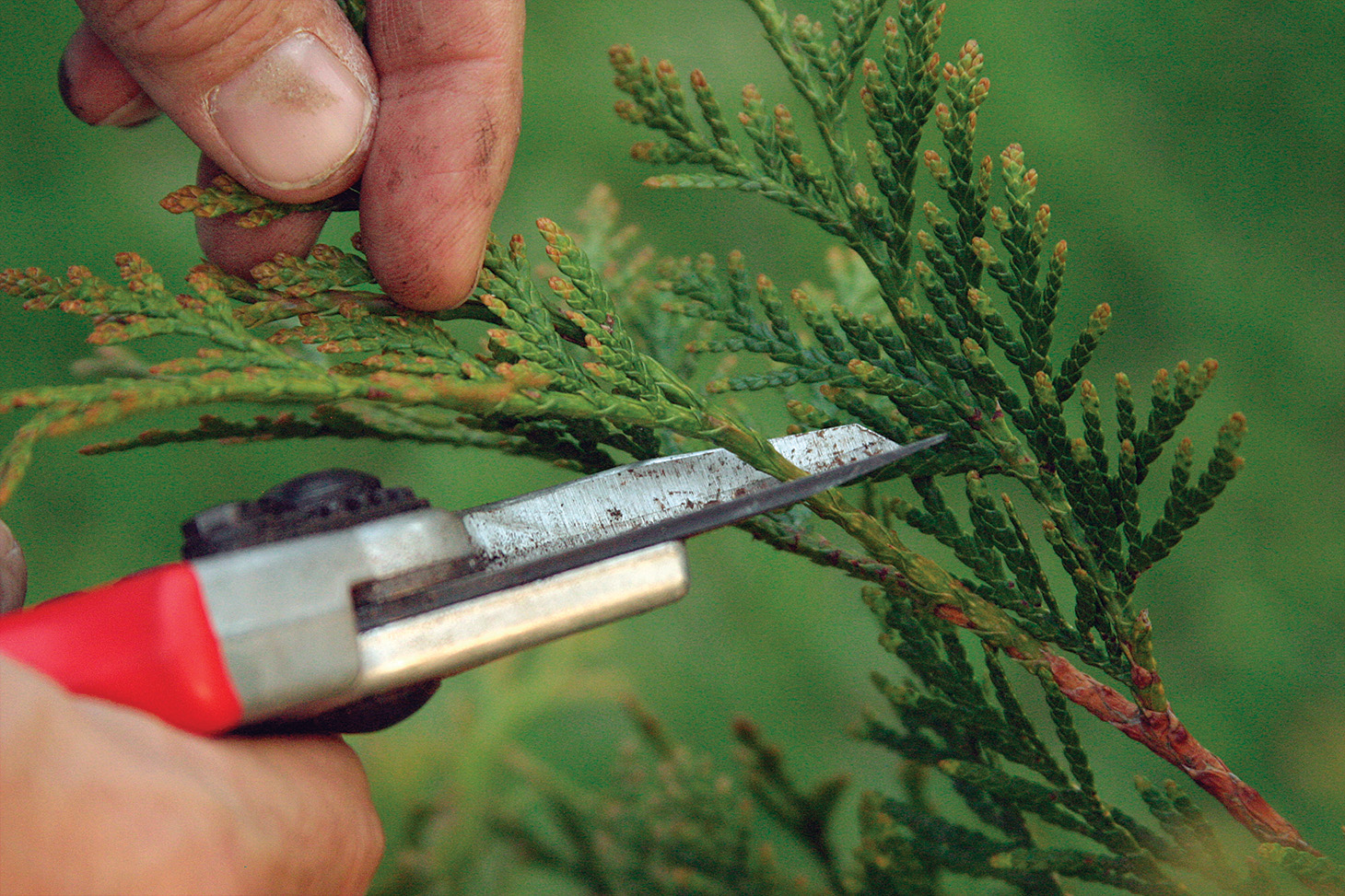 snip back branch tips to prune conifers