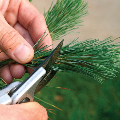 hand pruning confiers