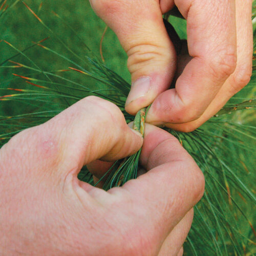 pinch to desired length to prune conifers