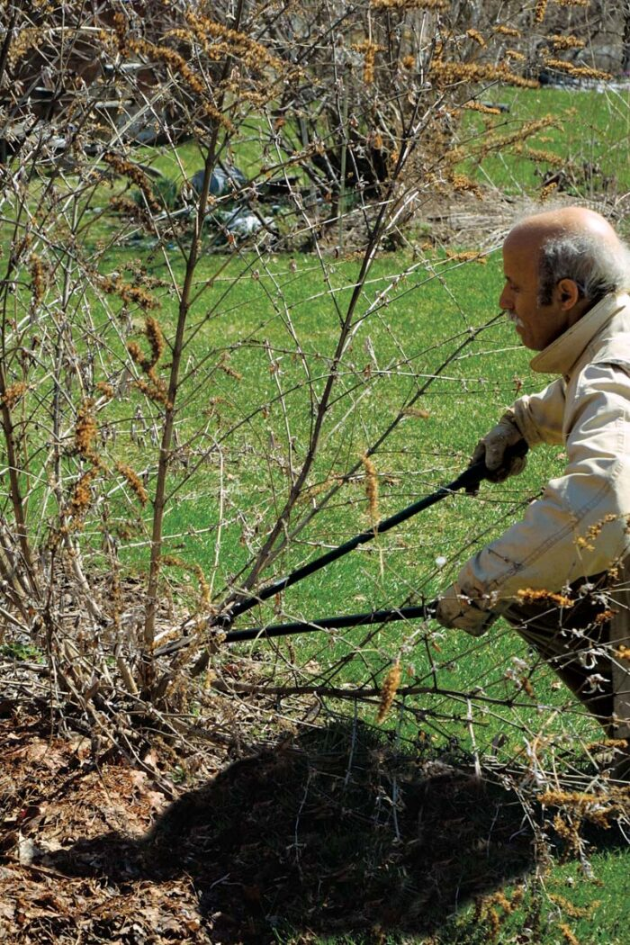 cutting butterfly bushes