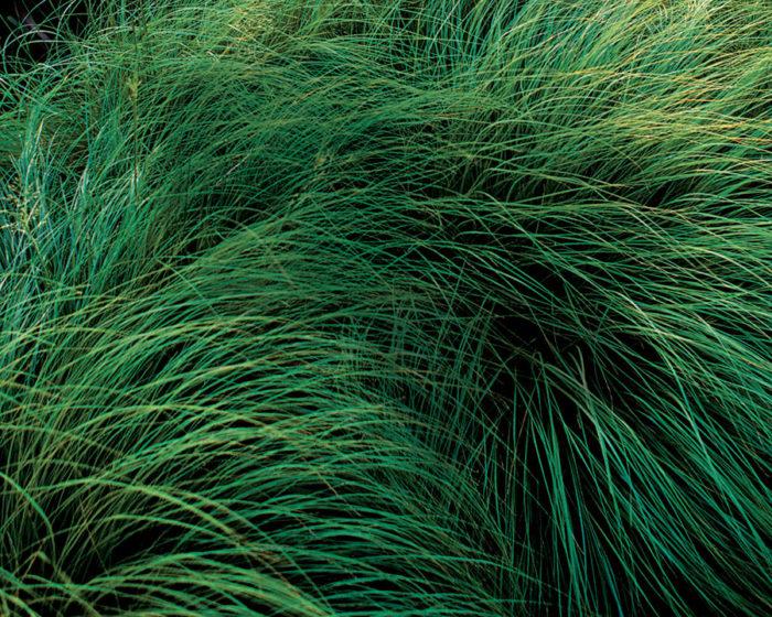 Native Grasses Finegardening