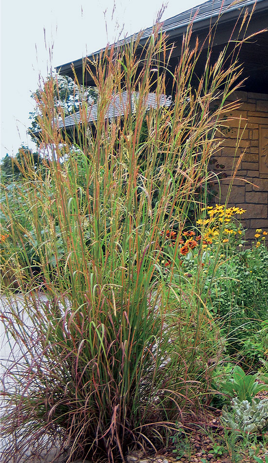 'Pawnee' big bluestem