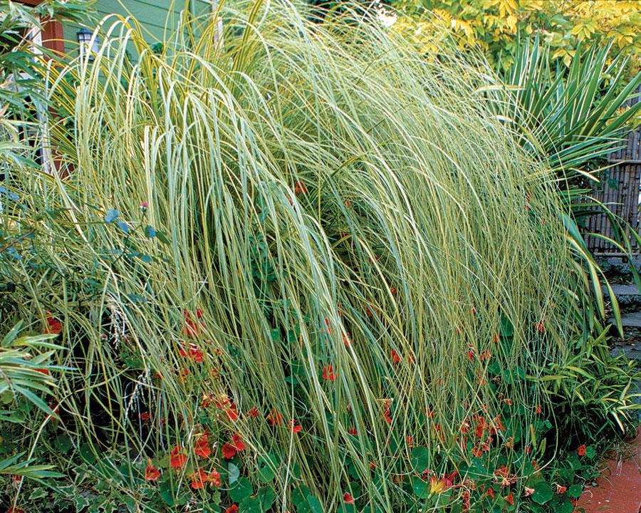 'Gold Band' pampas grass