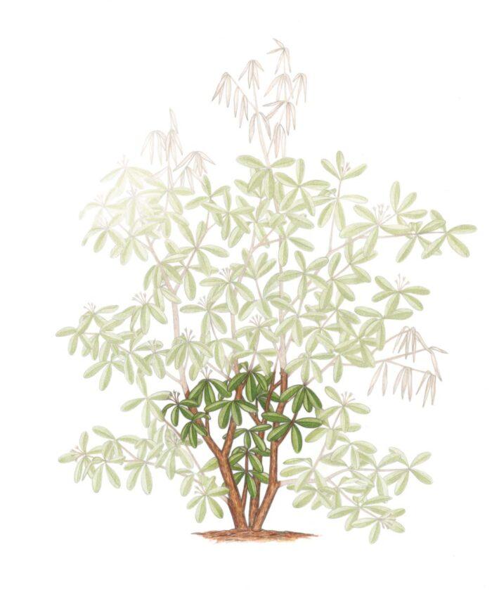 Cuts for rejuvenation pruning illustration