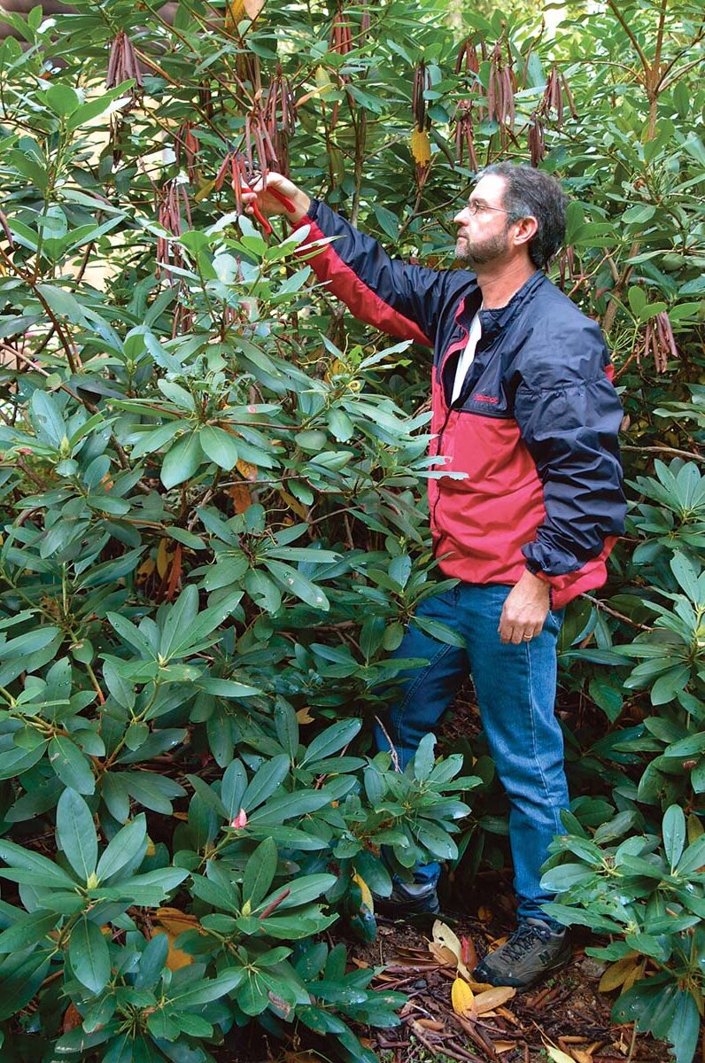 a man checking out rhododendrons