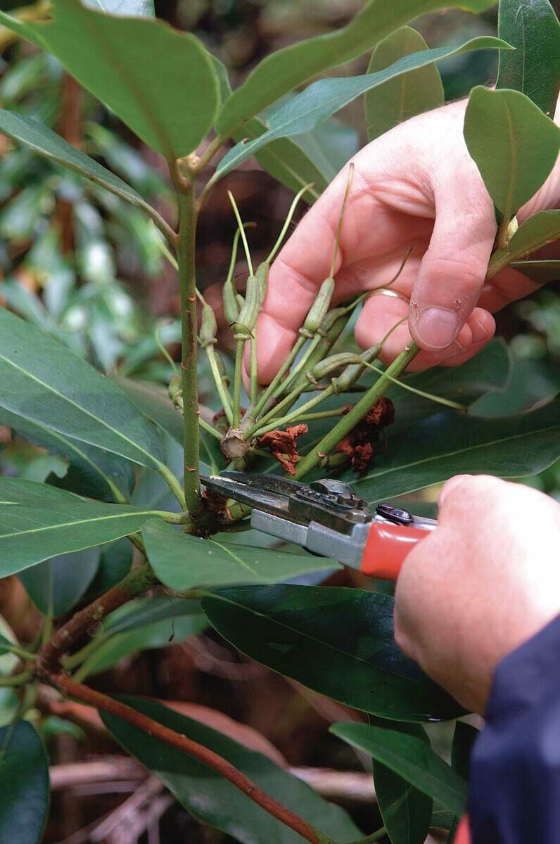 Maintain your rhododendron by snipping off spent flower clusters