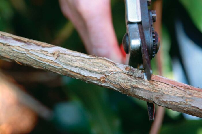 Cut just above a latent bud to rejuvenate the shrub.