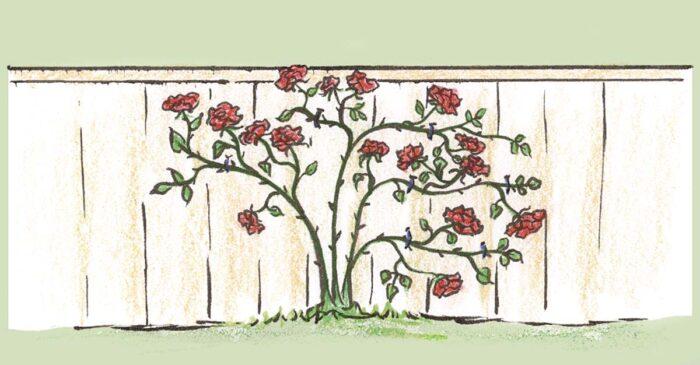 Roses blooming horizontally