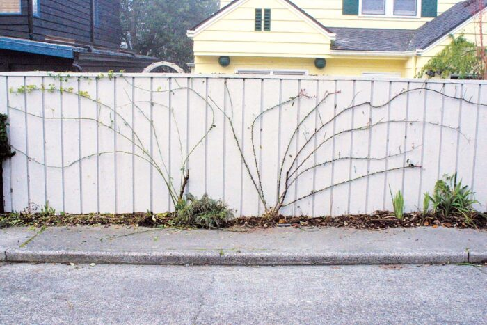 horizontal canes growing against a fence