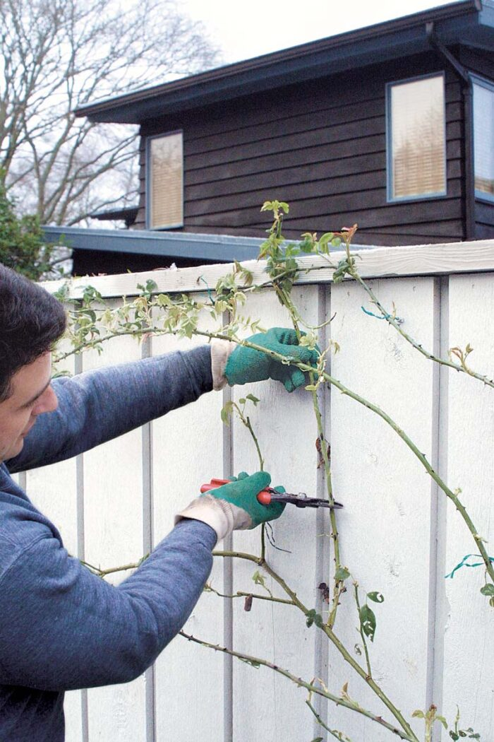 cutting lateral branches