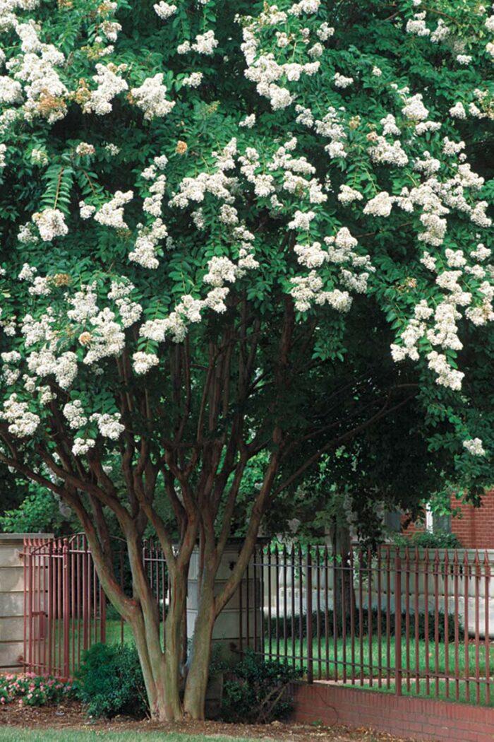 Crape myrtles in bloom