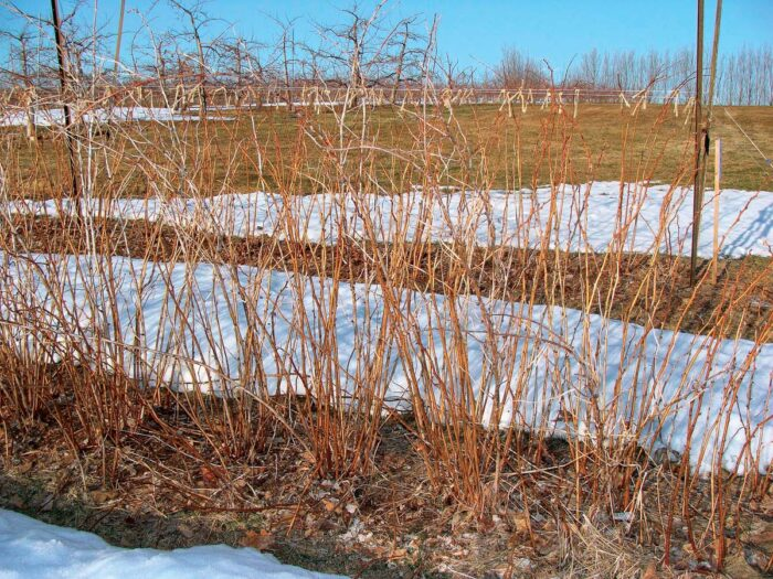 Red raspberry plants, before pruning.