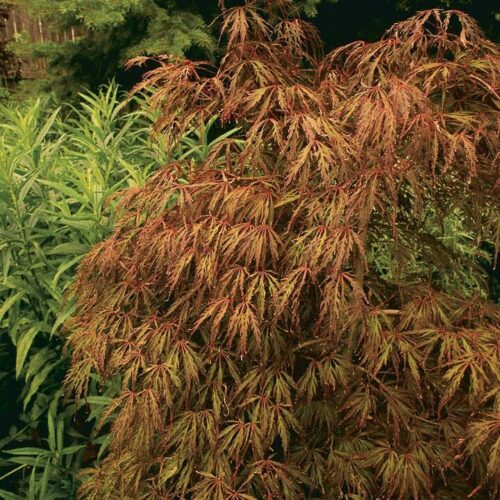 Accent plants, like Japanese maple, are also repeated throughout the garden.