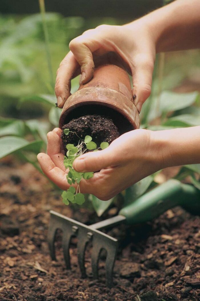 Gently remove seedlings from their pots to avoid disturbing the root system.