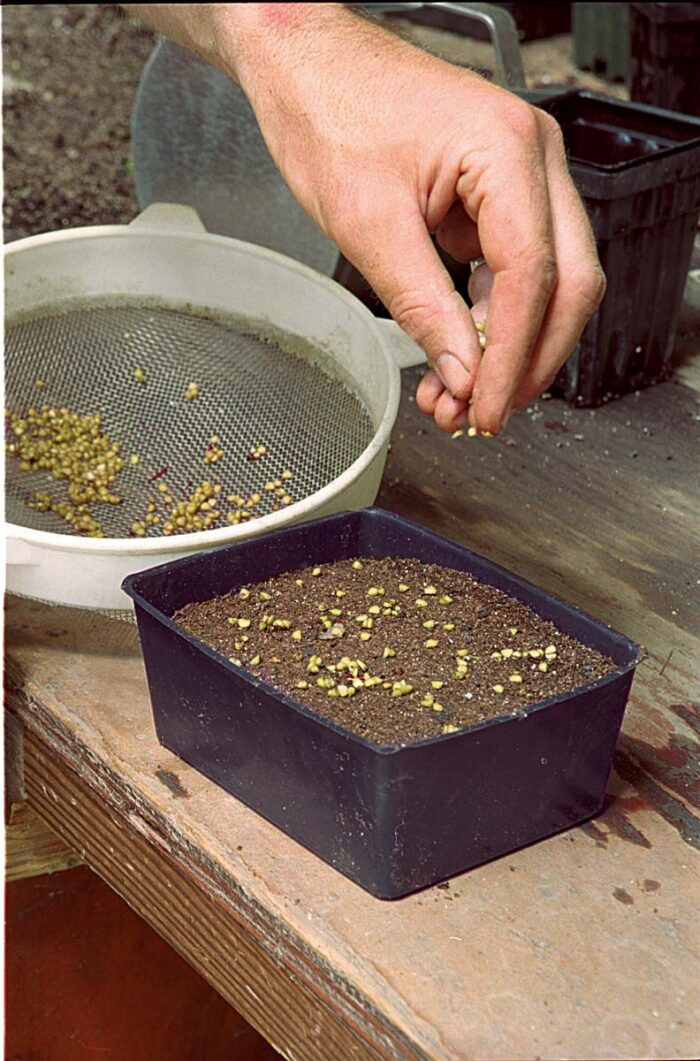 The author sprinkled these baneberry seeds onto a flat filled with soilless mix.