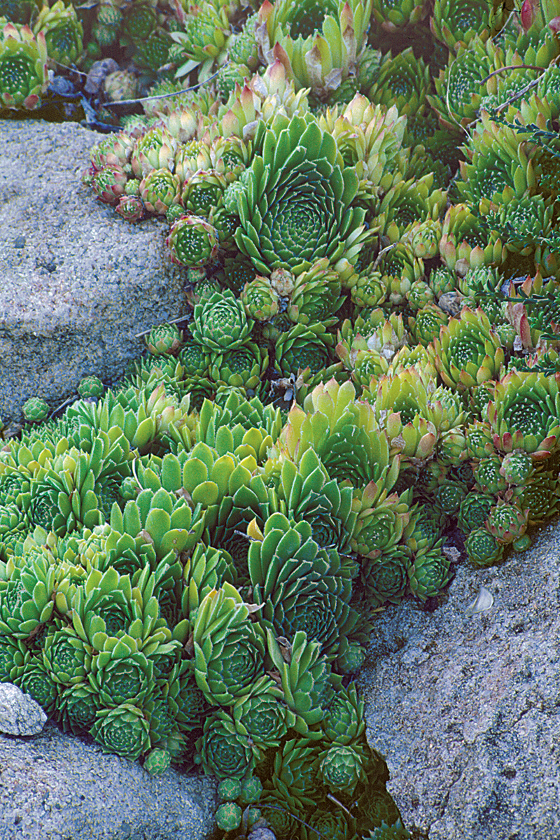 hens and chicks in-between rocks