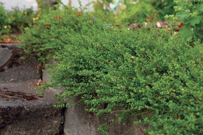 'Kewensis' wintercreeper has wonderful tiny leaves that add a nice texture underfoot. It grows in a mounding form but has a remarkable way of shooting upward if it encounters a vertical surface.