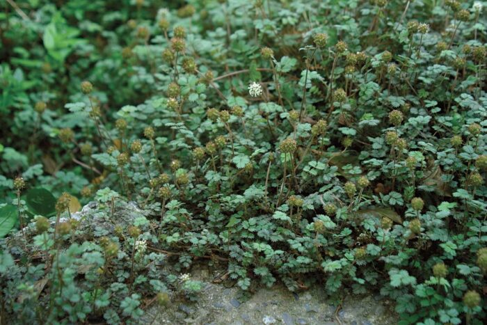 Plant Acaena 'Blue Haze' in areas of your garden that you visit seasonally. It does not like to be stepped on often, so the author places it where she needs to do only periodic weeding.