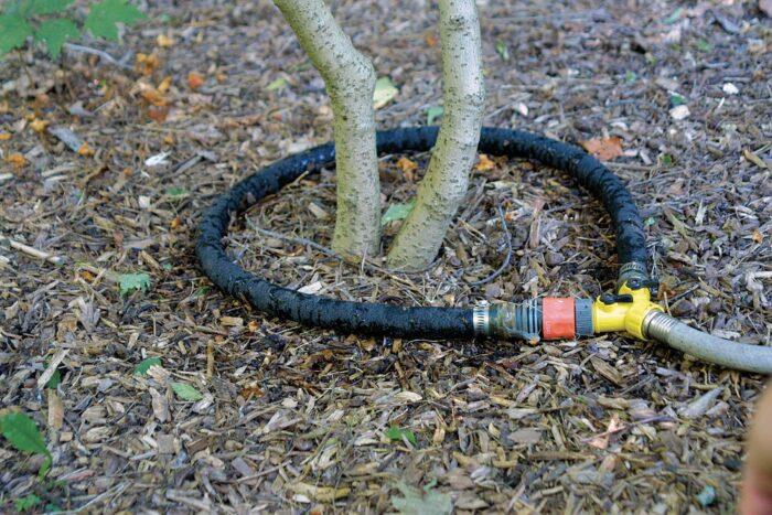 soaker-hose ring encircles a plant