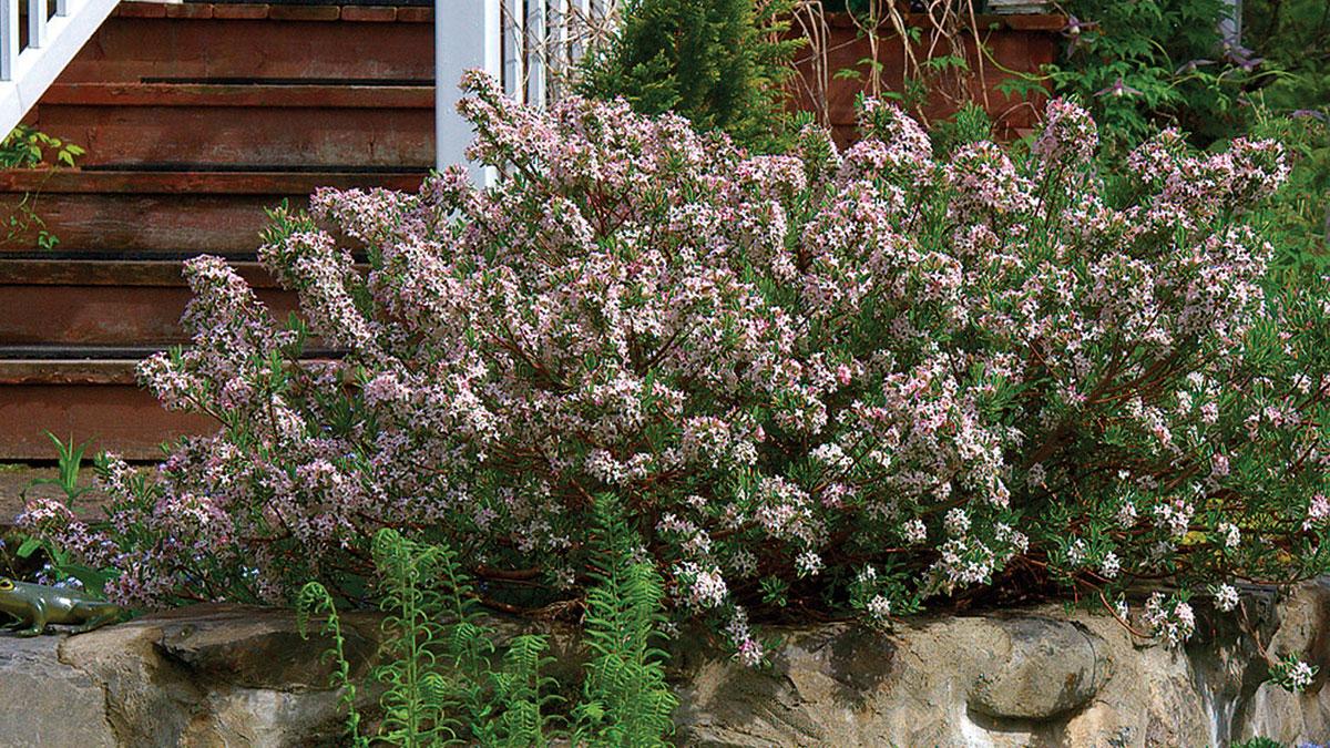 Daphne × burkwoodii 'Carol Mackie