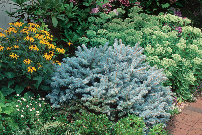 Conifers To Consider Finegardening