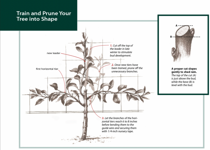 train and prune your tree into shape