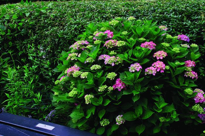 Pruning Hydrangeas Finegardening