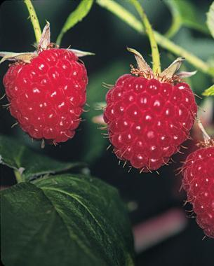 Pictures Of Different Kinds Of Raspberries