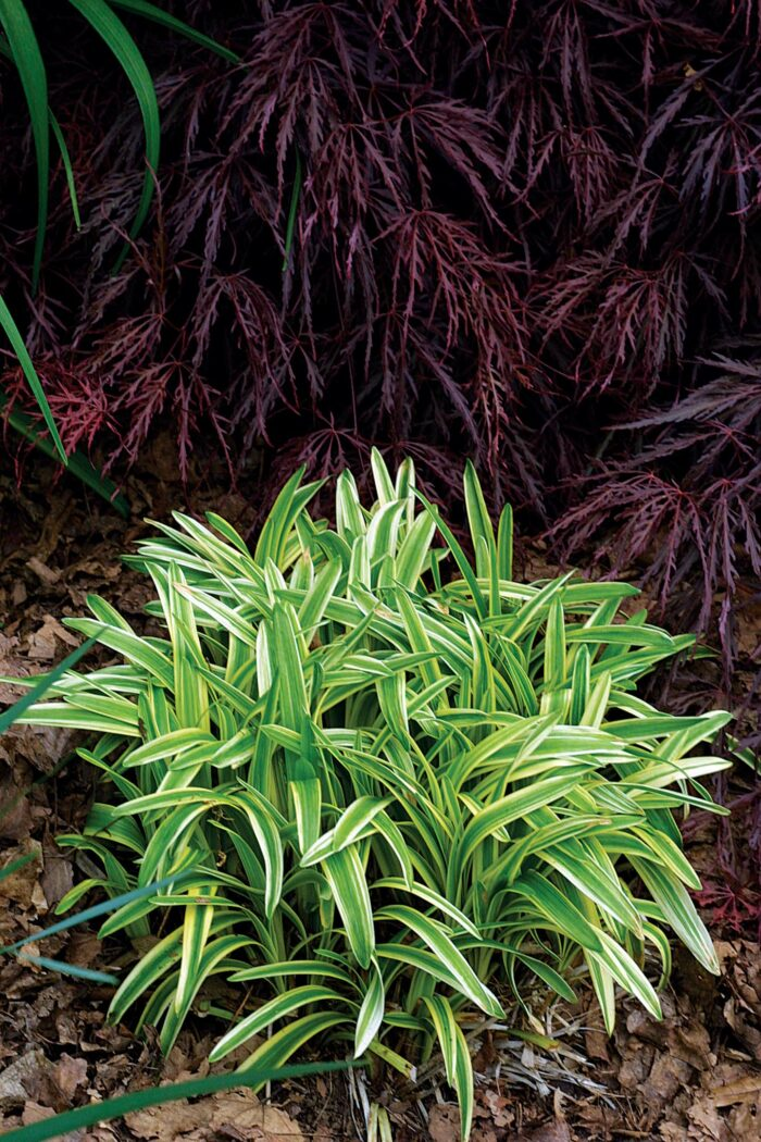 variegated plants for sun