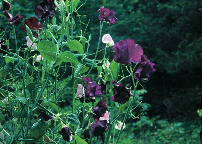 sweet peas cool-season annuals