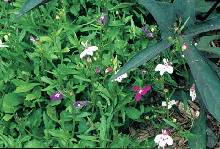 Cerinthe major 'Purpurascens' has glaucous blue foliage