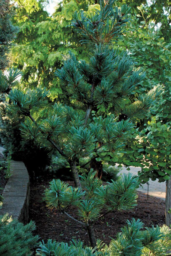 'Glauca' Japanese white pine