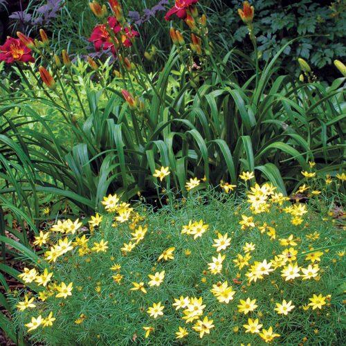 sturdy tickweed plant