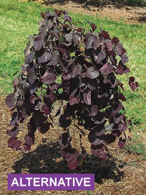 Regional Picks: Alternatives to Troublesome Plants ...