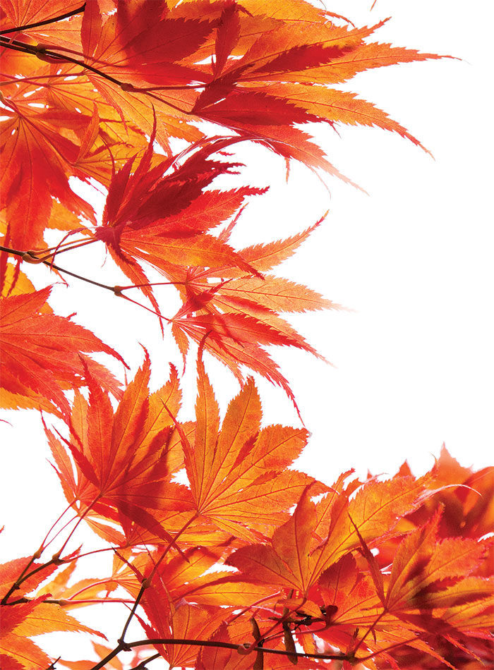 The Best Japanese Maples Finegardening