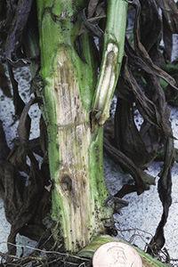 ungal pathogens Fusarium and Verticillium are the principal causes of vascular wilts.