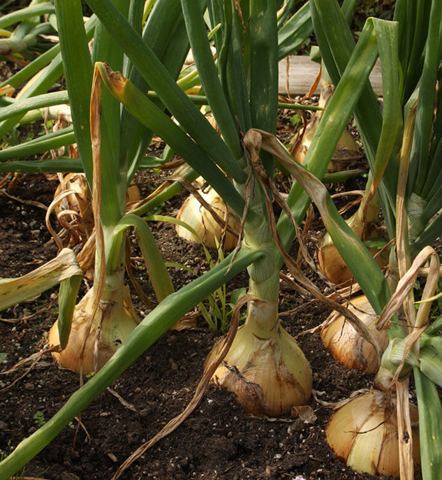 How to onion starts form mature onions
