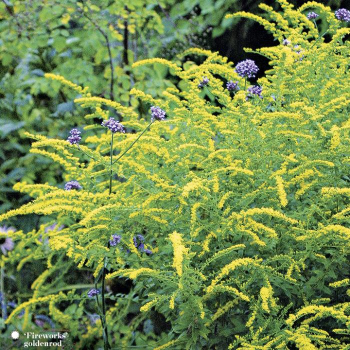 goldenrods perennials