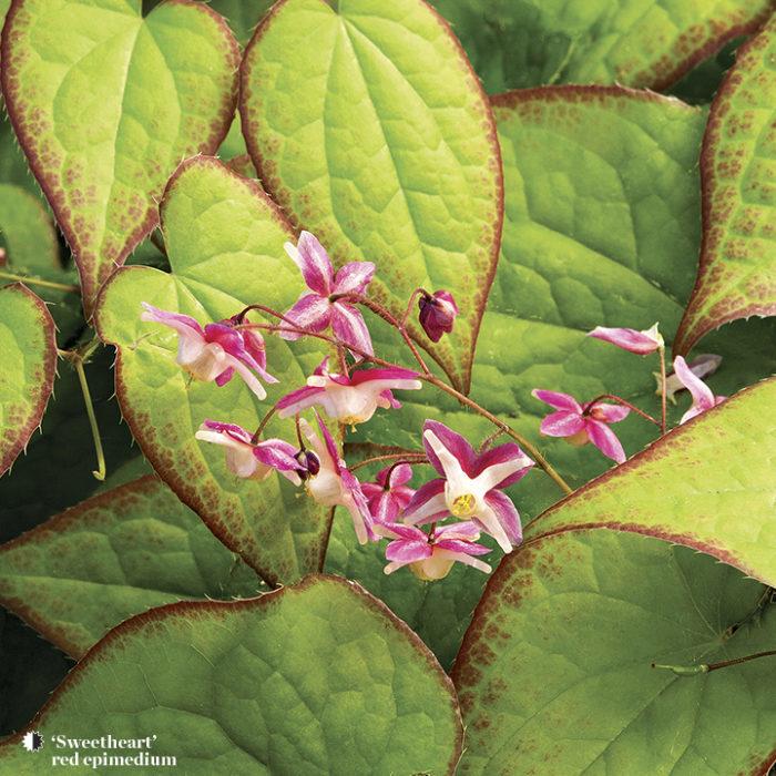 sweetheart perennials