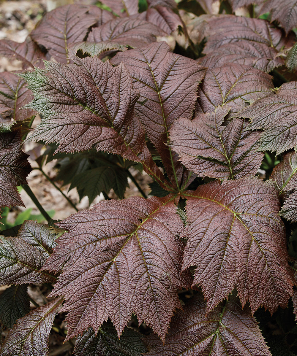 Bronze Form Rodgersia