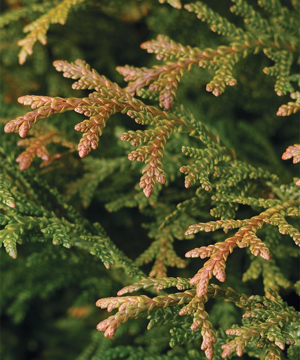 Dwarf Elkhorn Cedar