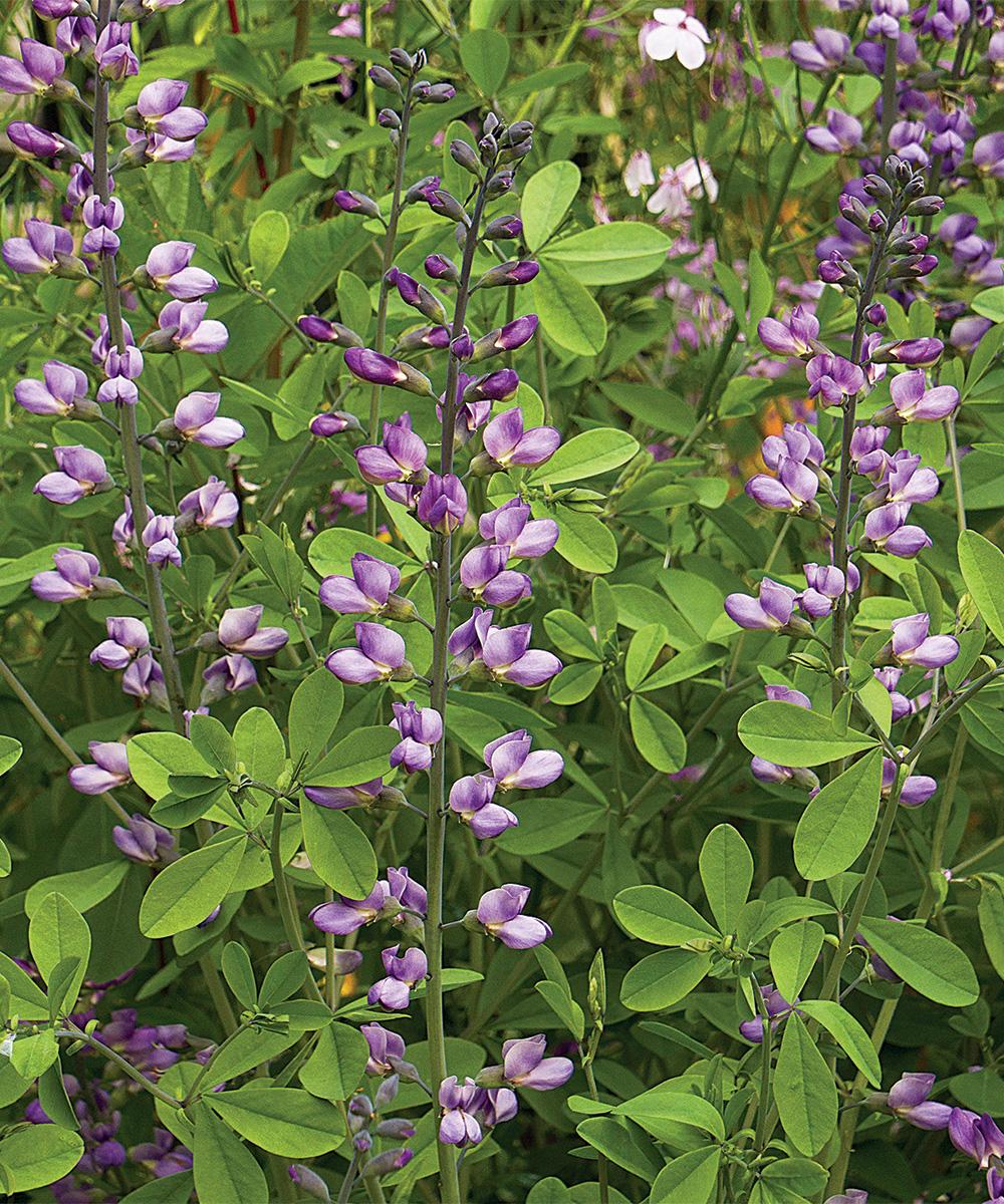 Purple Smoke Baptisia