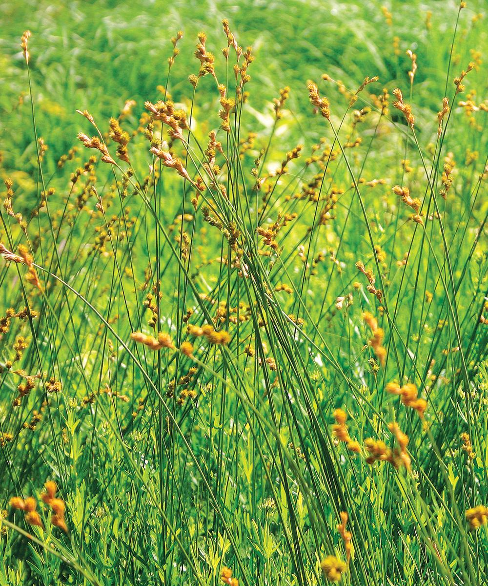 Prairie Sedge
