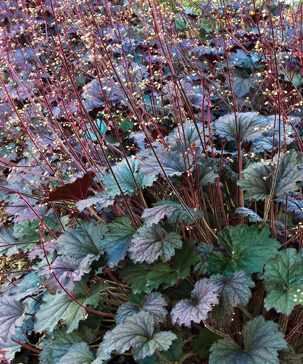 Frosted Violet Coral Bells