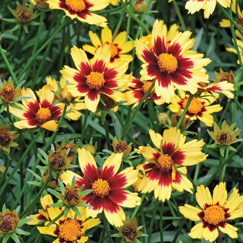 Cosmic Eye Coreopsis