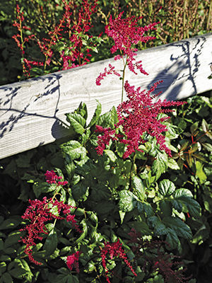 12 Brilliant Astilbes Finegardening