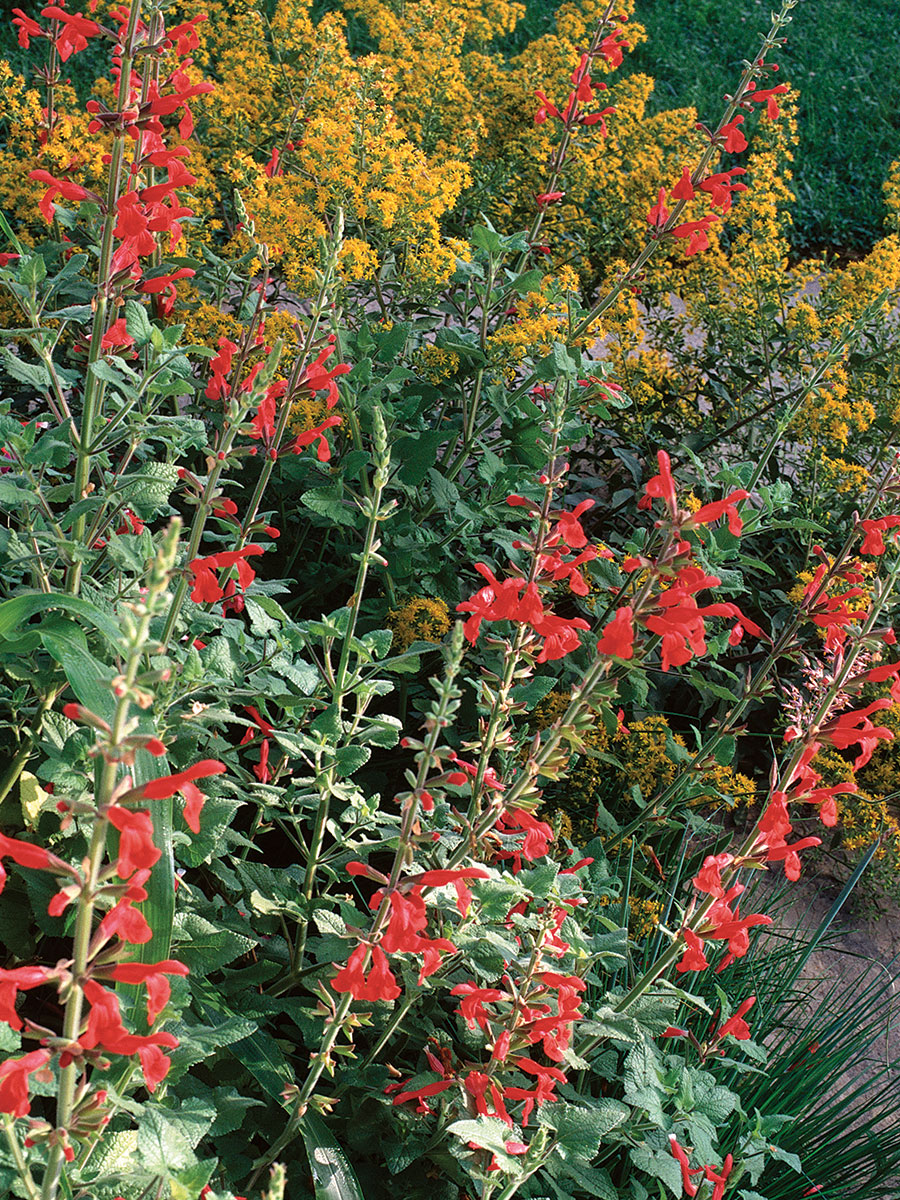 red mountain sage
