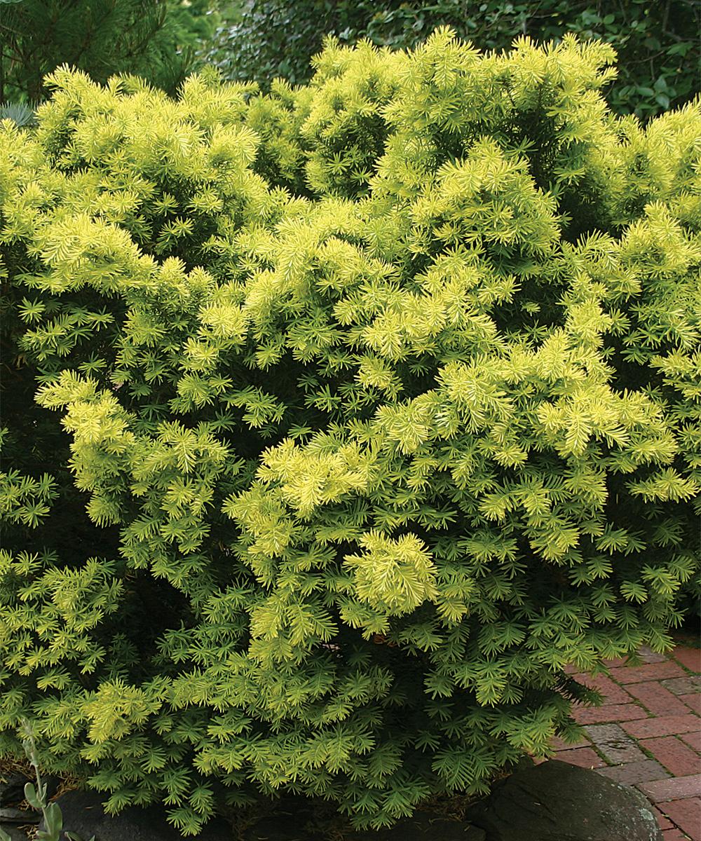 Dwarf Bright Gold Japanese Yew