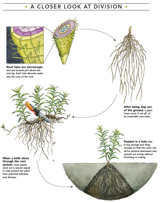 science of plant division